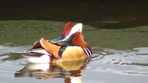 Mandarin Duck (m)
