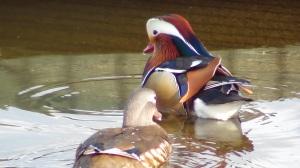 Mandarin Duck (m+f)