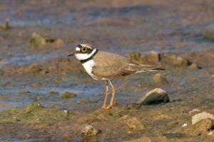 http://upload.wikimedia.org/wikipedia/commons/a/a7/Little_Ringed-Plover.jpg