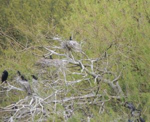 Nesting Cormorants Photo by Sue
