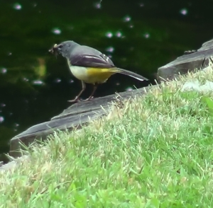 Grey wagtail (This one seen in Canterbury)