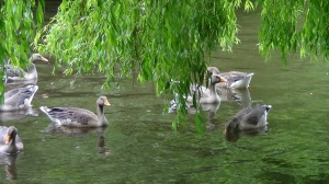 The young Greylag Geese look very like adult birds now