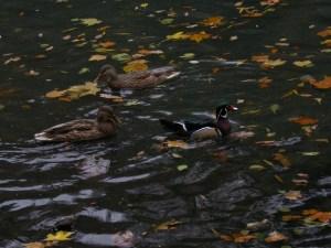Male Wood Duck with female Mallard