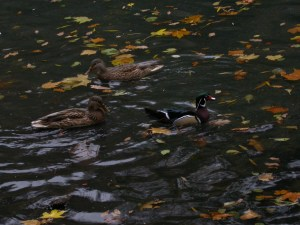 Male Wood Duck with female Mallard