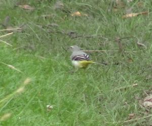 Grey Wagtail - Sutcliffe Park  August 2013