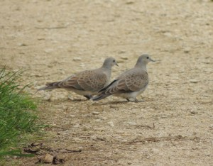 Turtle  Doves Photo by Sue