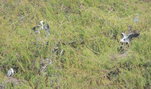 Grey Heron nest communally in trees