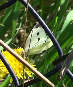 Female Large White