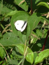 Male Large White