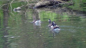 The Canada goose / Greylag goose pair with this years young one