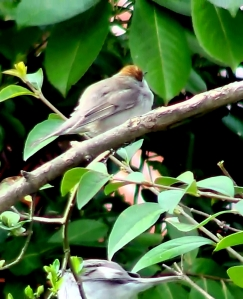 Blackcap (Female)