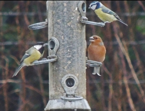 Blue Tit, Great Tit and Chaffinch on feeder