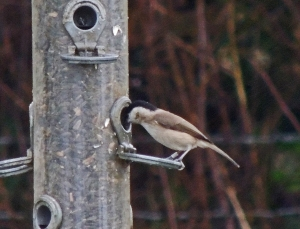 Marsh Tit at Feeder Station