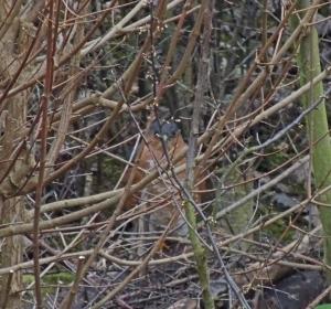 Sparrowhawk hiding in hedge to evade Crows