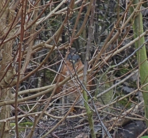 Sparrowhawk hiding in hedge to evade Crows