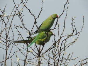 Ring necked Parakeets