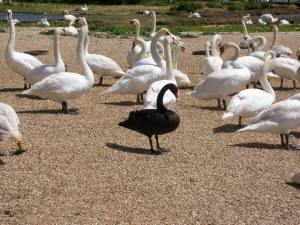 Occasionally an escaped swan finds it way to the swannery, in this case a Black swan escaped from a wildfowl collection.