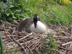 Cananda Goose on nest