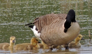 Canada Goose and Young