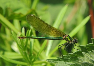 Female Banded Demiselle