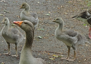 Greylag Goose and Young
