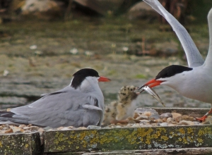 Common Tern feeding chick