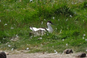 Avocet on nest