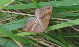Shaded Broad-Bar Moth