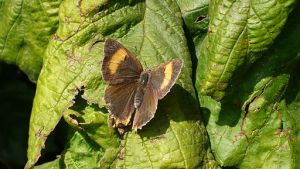Brown_Hairstreak_Nierenfleck_Zipfelfalter