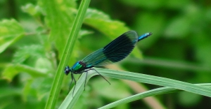 Banded demoiselle (Taken at Sutcliffe Park LNR)