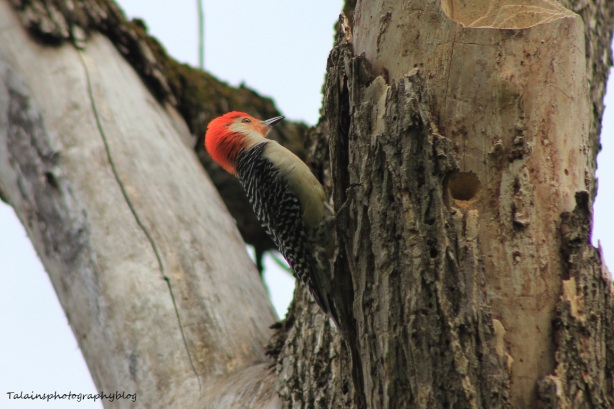 red-bellied woodpecker016