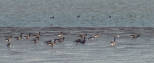 Brent Geese at Harty Ferry