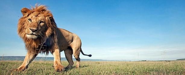 lion_1_19451