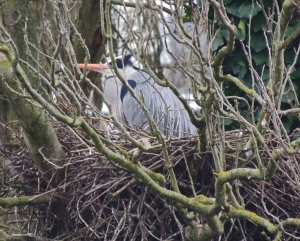 Grey Heron on nest in heronry