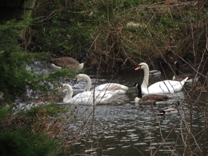 Mute Swans and Canada Geese