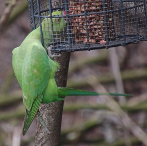 Ring necked Parakeet - 'If you think this cage is going to keep me from the nuts!'