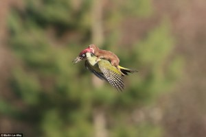 2645925100000578-2977184-The_incredible_photograph_shows_the_tiny_brown_weasel_clinging_t-a-16_1425378723824