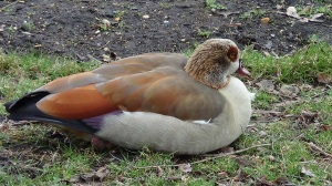 Egyptian Goose (from archive)