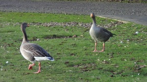 Greylag goose (from archive)