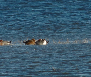 Drake Pintail sleeping amongst Eurasian Wigeon