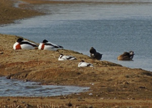 Avocets and Shelduck