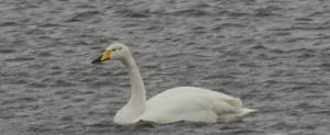 Whoopwer Swan