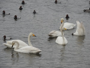 Whooper Swans and Ducks on the Washes