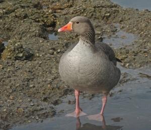 Grey lag Goose