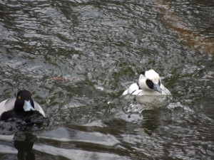 Smew and Scaup
