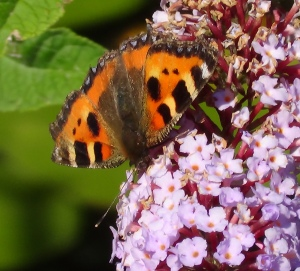 Small Tortoiseshell (archive photo)