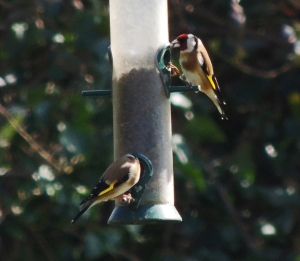 Gold finches