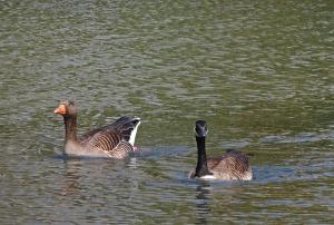 Canada x Greylag goose pair