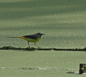 Male Grey wagtail