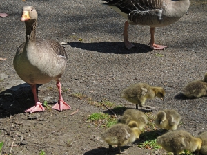 Parent keeps an eye on me whilst I photograph the goslings